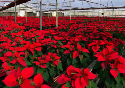 Second Annual Poinsettia Fundraiser
